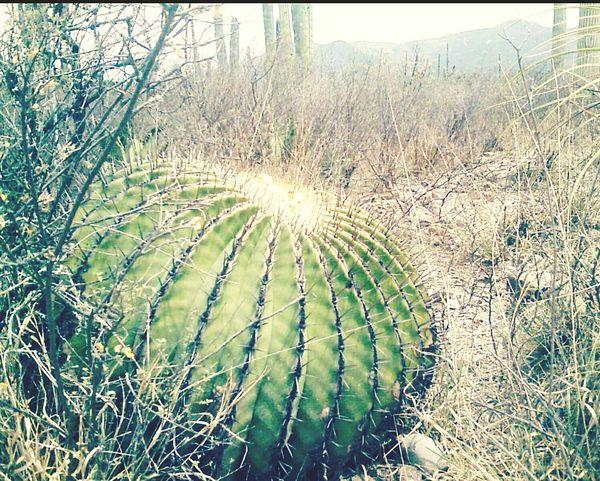 Cactus Desert Desierto Reserva Calor Caminar Photography EyeEm Nature Lover EyeEm Dia Beautiful Classic Sol Seco Viaje Nature_collection Nature Photography Nature Lover