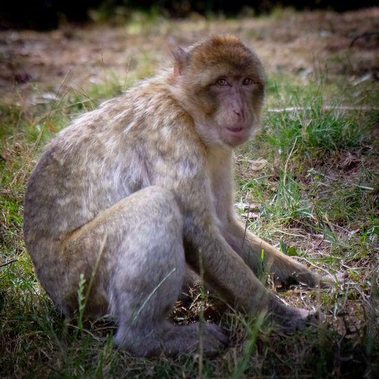 Monkeys Animal Animals In The Wild Animal Themes Animal Wildlife Mammal One Animal Grass