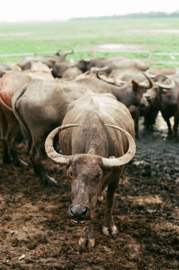 Buffalo Animal Animal Themes Animal Wildlife Cattle Day Domestic Domestic Animals Environment Field Group Of Animals Herbivorous Herd Horned Land Landscape Livestock Mammal Nature No People Outdoors Pets Standing Vertebrate