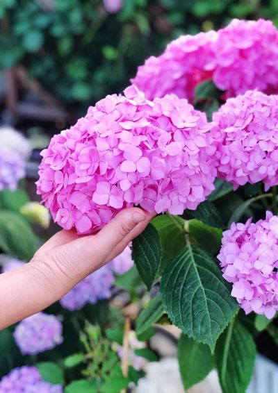 Human Hand Hand Freshness Flowering Plant Human Body Part Flower Pink Color Plant Vulnerability  Fragility One Person Close-up Beauty In Nature Plant Part Focus On Foreground Leaf Real People Growth Petal Holding