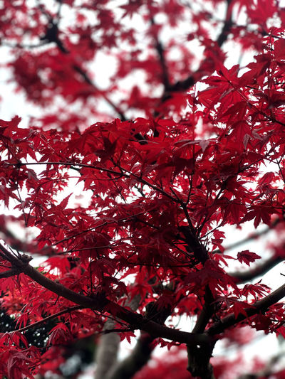 Low angle view of red flowering tree during autumn
