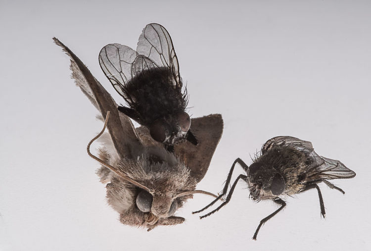 Still life with three still dead insects Macro Photography Still Dead Animal Themes Close-up Day Dead Insects Dry Flies Indoors  Insect Moth Nature No People Still Life Studio Shot White Background