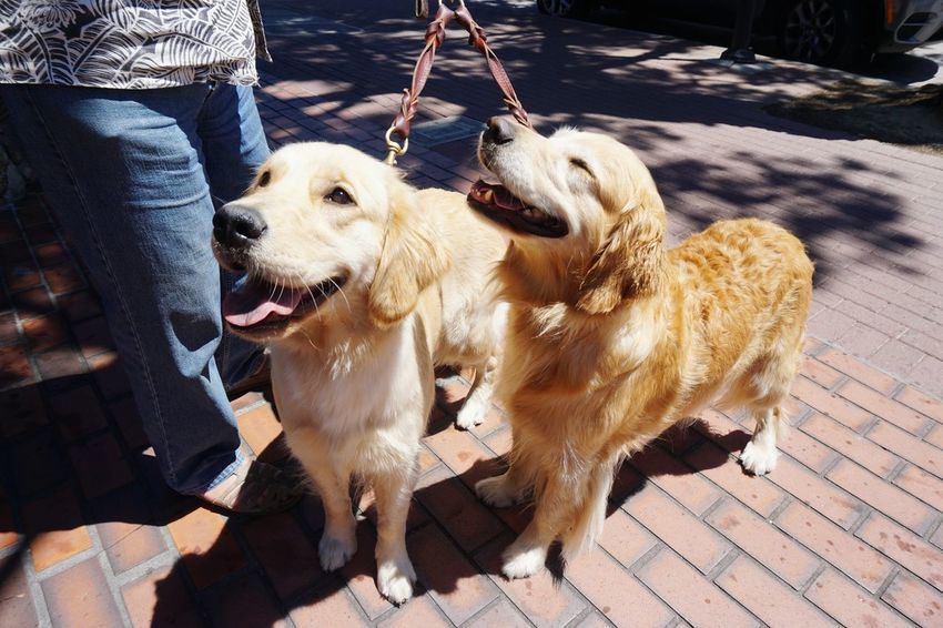 oh that smiling face! Dog Pets Domestic Animals Animal Themes Day Outdoors Dog Walking Golden Retriever Sunny Day