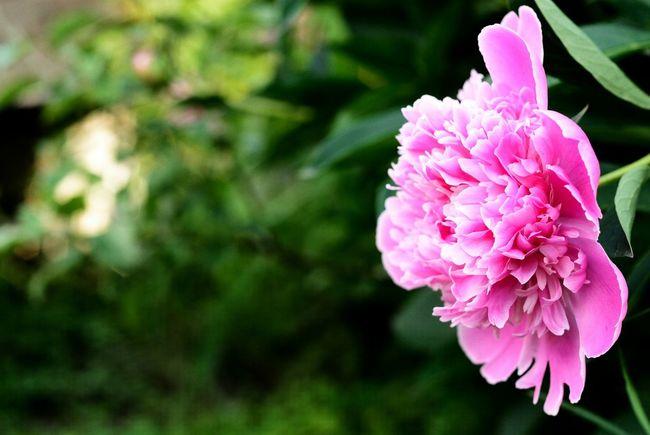 Dark Pink By Motorola цветы пион Flowers Summer