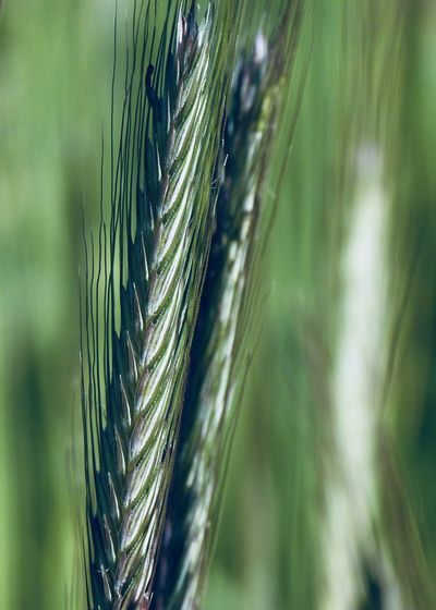 ear of wheat close-up Copy Space Wheat Agriculture Backgrounds Beauty In Nature Cereal Plant Close-up Crop  Ear Of Wheat Farm Field Focus On Foreground Green Color Growth Land Nature Outdoors Pattern Plant Selective Focus Sunlight Tranquility Vertical