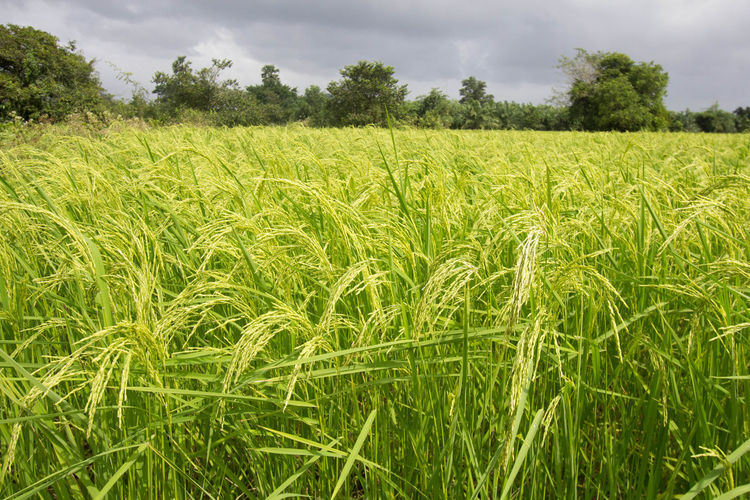 Agriculture Beauty In Nature Cereal Plant Close-up Cloud - Sky Crop  Day Farm Field Green Color Growth Landscape Nature No People Outdoors Rice Rice Paddy Rural Scene Scenics Sky Tranquil Scene Tranquility Tree