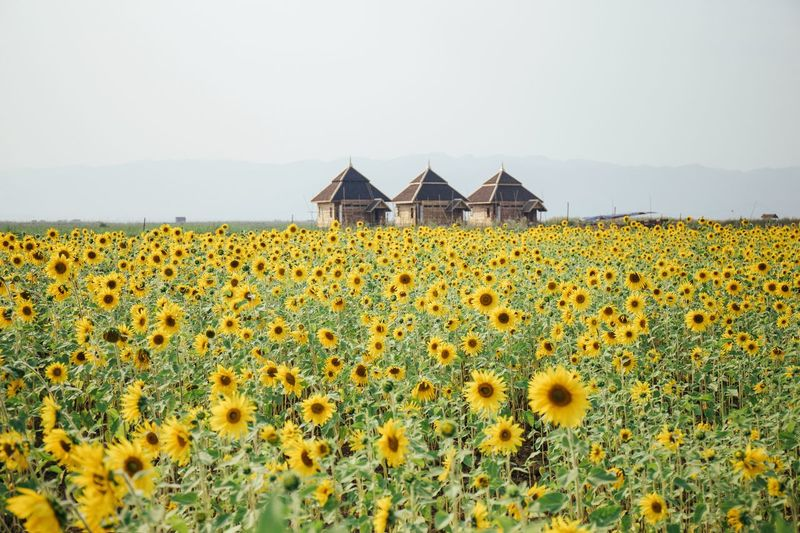 Sunflowers growing on field against clear sky