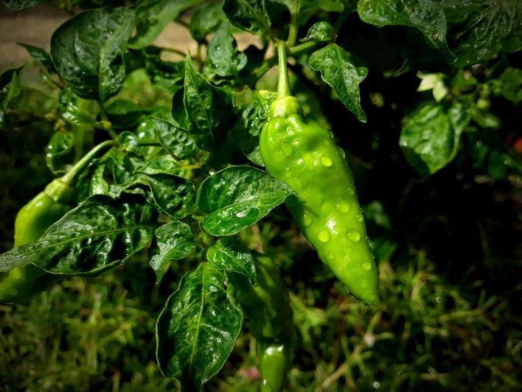 Aji verde Green Color Freshness Healthy Eating Vegetable No People Nature Water Good Morning Day Food Garden Jardin Ají Dulce Colombia ♥  Naturaleza Urbana