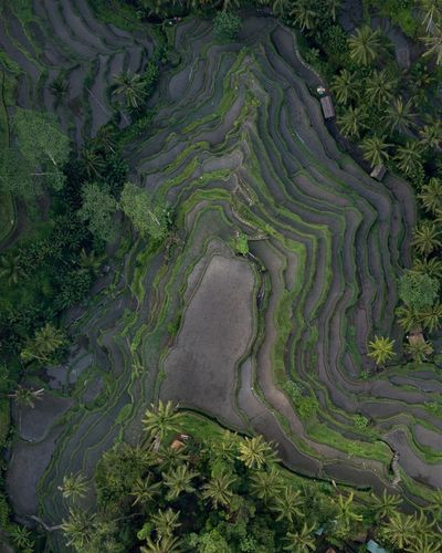 Rice terraces in Bali, Tegallalang