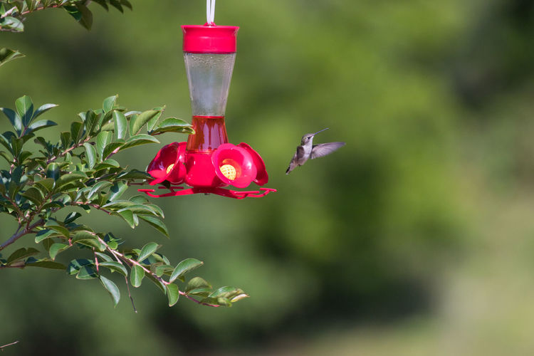 Hummingvird Animal Themes Animal Wildlife Beauty In Nature Bird Feeder Close-up Day Flying Focus On Foreground Food And Drink Freshness Green Color Growth Hanging Hummingbird Mid-air Nature No People One Animal Plant Red