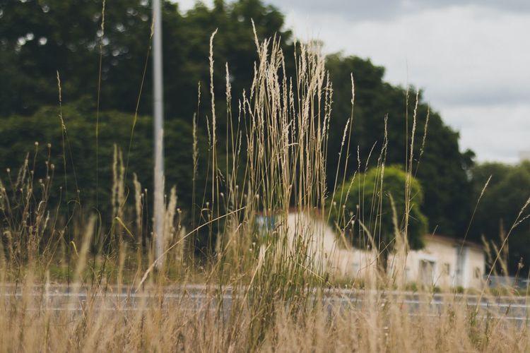 Gräser Plant