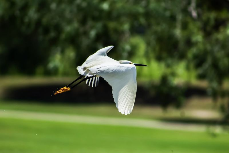 Egret In Flight Eyeemphotography EyeEm ready Nature_collection Nature Photography Naturelovers Animal Wildlife Animals In The Wild Animal Themes Bird Flying Animal Vertebrate Focus On Foreground One Animal Mid-air Spread Wings Nature Day Outdoors Beauty In Nature