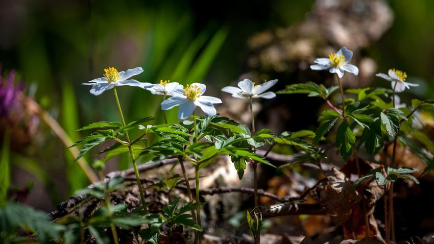 Paradise track Beauty In Nature Close-up Day Field Flower Flower Head Flowering Plant Fragility Freshness Growth Inflorescence Leaf Nature No People Outdoors Petal Plant Plant Part Selective Focus Vulnerability  White Color