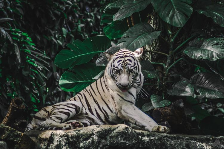 White tiger relaxing on rock in forest