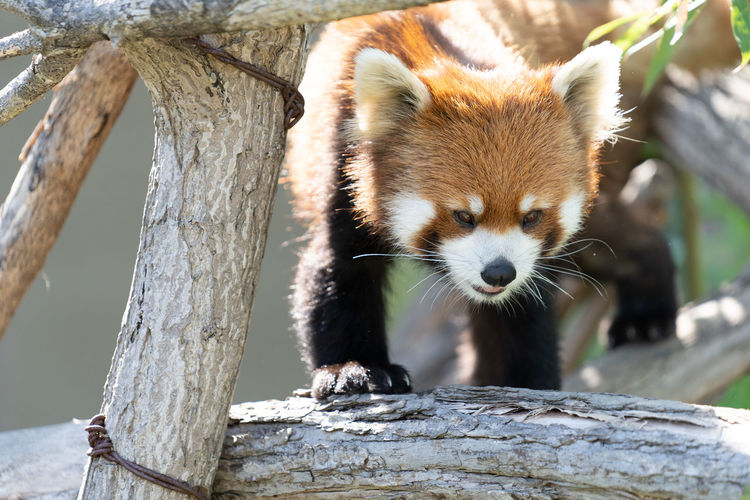 One Animal Animal Animal Themes Animal Wildlife Animals In The Wild Red Panda Mammal Focus On Foreground Tree Vertebrate Branch Day Wood - Material Nature No People Outdoors Looking Panda - Animal Close-up Animals In Captivity Zoo Animal Head  Whisker Herbivorous