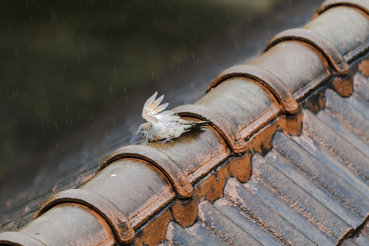 Bird Perching On Tiled Roof During Rainy Season