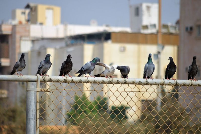 Animal Animal Themes Animal Wildlife Animals In The Wild Architecture Barrier Bird Boundary Building Exterior Built Structure Chainlink Fence Day Fence Flock Of Birds Focus On Foreground Group Of Animals Medium Group Of Animals Nature No People Outdoors Perching Vertebrate