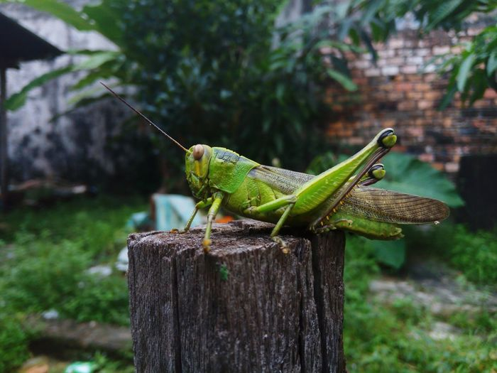 Close-up of grasshopper on wooden post