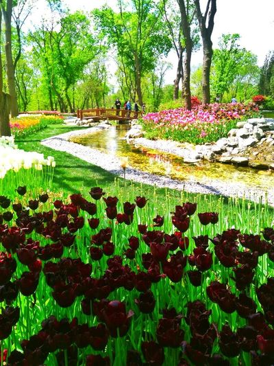 Plant Nature Beauty In Nature Green Color Tree Flower Lotus Water Lily Water Tranquility Leaf Day Outdoors Fragility Palm Tree Tranquil Scene Grass Sky Emirgankorusu Emirgan Tulips🌷 Tulipfest Lale Lale Festivali Istanbuldalalezamanı Turkey ♡