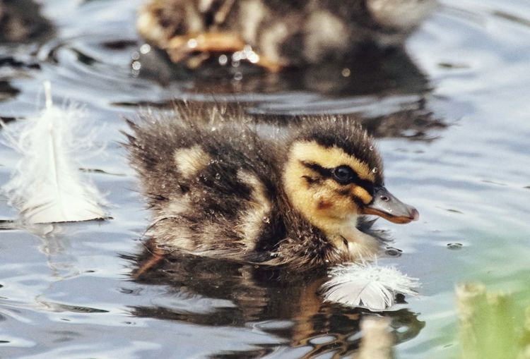 High Angle View Of Ducklings Swimming On Lake