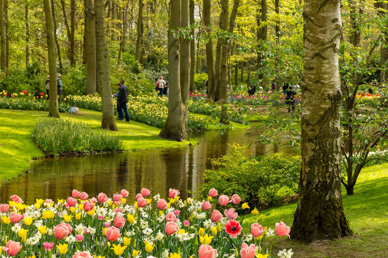The beautiful Keukenhof Gardens, in Lisse, Netherlands. With tulips blooms in the foreground and grass lined spring through trees being admired by visitors. Beauty In Nature Day Flower Flowerbed Flowering Plant Freshness Grass Green Color Growth Keukenhof Lake Nature Ornamental Garden Outdoors Park Park - Man Made Space Plant Springtime Tranquility Tree Tree Trunk Trunk Tulip Water