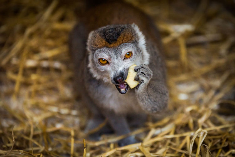 Portrait of lemur eating apple on grass