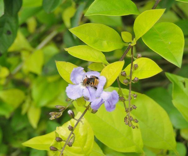 Peruíbe Brasil ♥ Insetosdobrasil Coisa De Deus Polinización Abelhas Flower Pollination Abelha, Flor, Desenho De Deus Natureza Perfeita♡♥