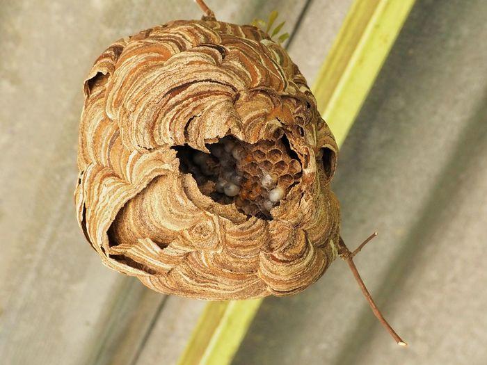 Wasp nest Dangerous Wasp Nest Hornet Poisonous Sting Close-up Animal Themes