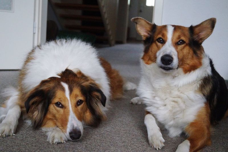 Close-up portrait of dogs relaxing at home