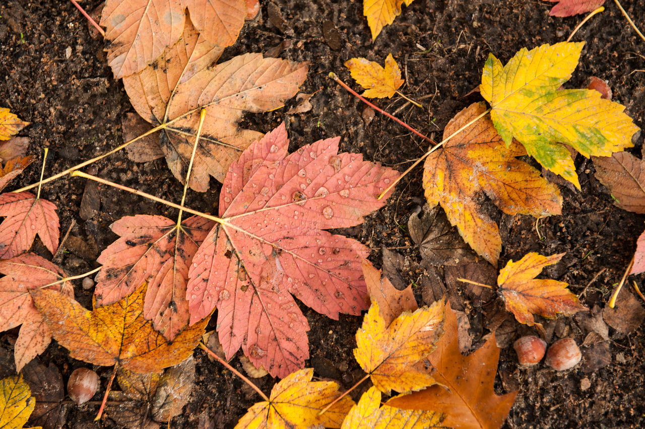 leaf, autumn, change, dry, nature, maple leaf, fallen, leaves, outdoors, weather, day, beauty in nature, yellow, maple, high angle view, no people, scenics, wet, close-up, forest, fragility, water