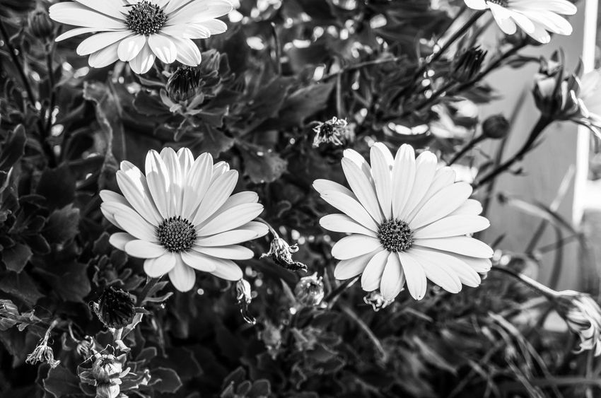 The daisies Black And White Monochrome Light And Shadow Flower Flowering Plant Plant Growth Fragility Vulnerability  Freshness Beauty In Nature Flower Head Close-up Sunlight White Color Petal