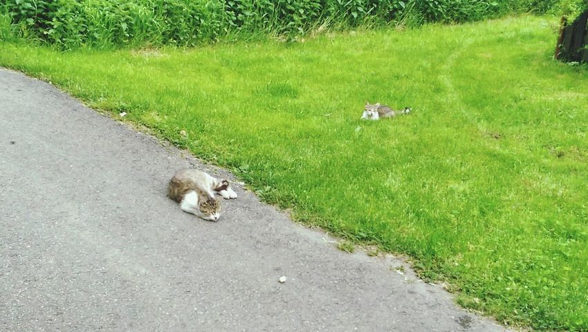 😺😺😺😺 Asphalt or grass, what you choose? Cats 🐱 Cat Lovers Cat♡ Grass Choose Playing With The Animals Eyem Cute Cats Cute Cats Relaxing 😸😸😸😸lol