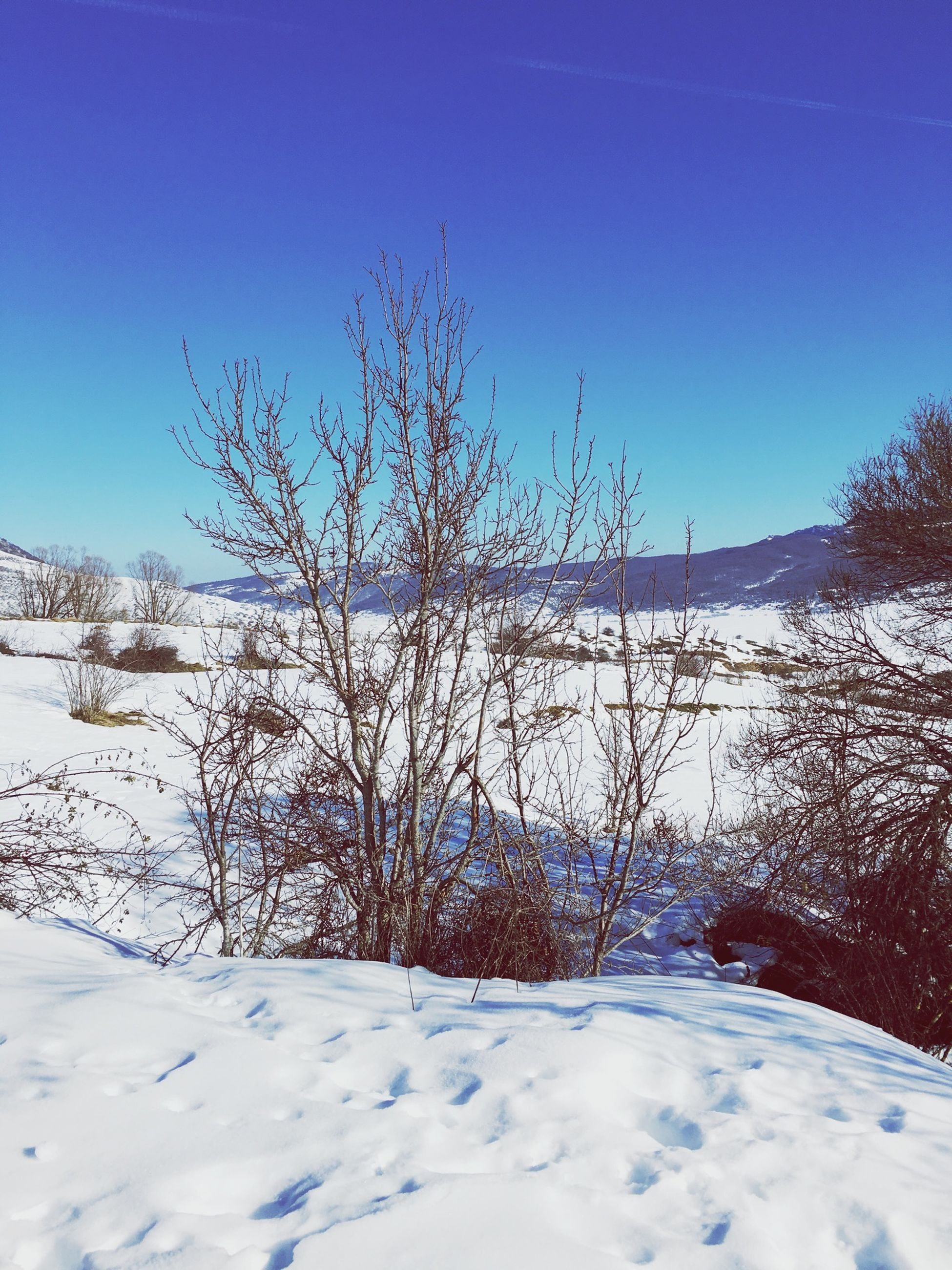 snow, cold temperature, winter, clear sky, blue, bare tree, tranquility, tranquil scene, copy space, nature, season, frozen, beauty in nature, scenics, landscape, field, covering, snow covered, tree, non-urban scene
