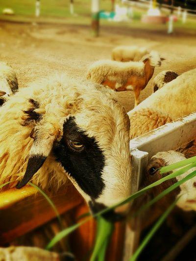 Give food eat Lamb...(cute) Sheep Lamb Foodgrass Sunlight
