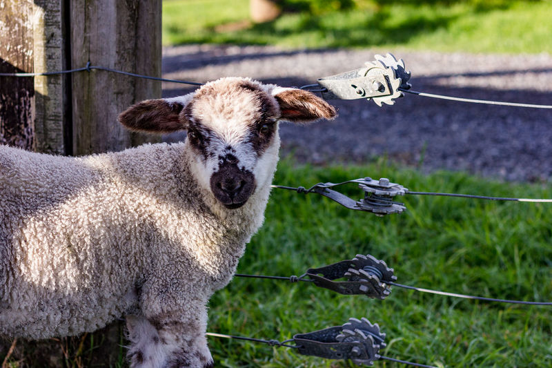 Lamb by fence Farm Animals Lamb Wire Fence Strainer Animal Themes Close-up Day Domestic Animals Focus On Foreground Grass Livestock Mammal Nature No People Outdoors Sheep Wire Fence Close Up,