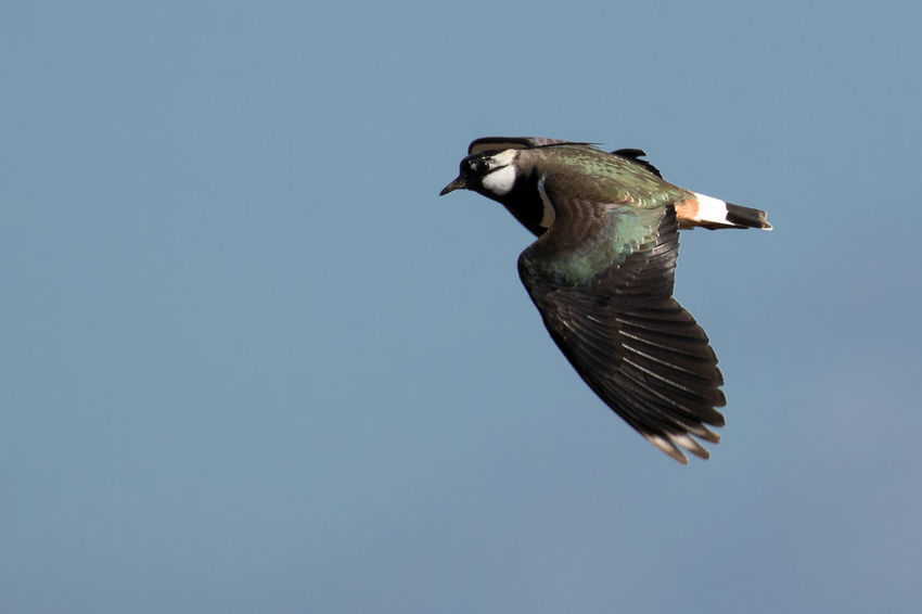 A lapwing flies past on its display flight in Spring Animal Themes Animals In The Wild Bird Clear Sky Flying Lapwing Lapwings In Flight Low Angle View One Animal Plover Plovers Take Flight Spread Wings Wildlife