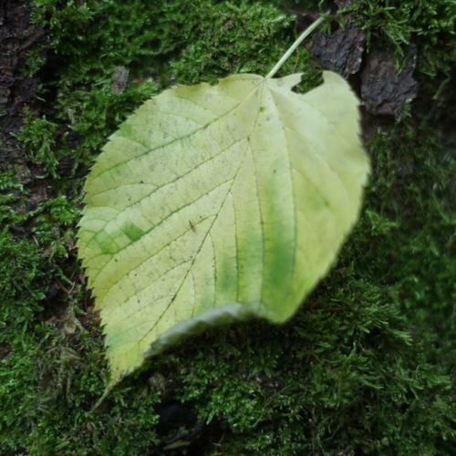 Plant Plant Part Leaf Green Color Nature Close-up Growth No People Beauty In Nature Day Leaf Vein Land Moss Outdoors Field Vulnerability  Tranquility Fragility Autumn High Angle View Change Leaves Natural Condition