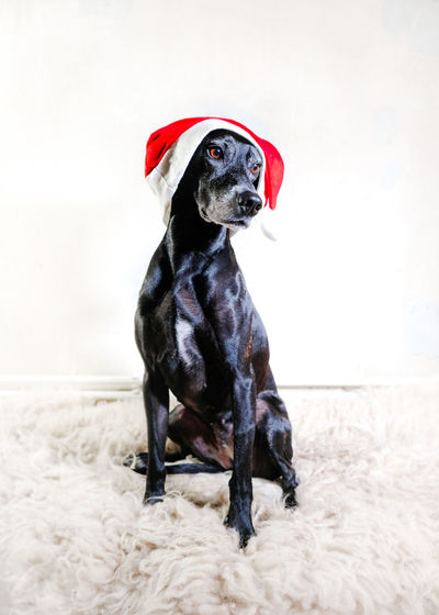 Christmas again Canine Dog One Animal Domestic Pets Sitting Black Color Mammal Looking Away Indoors  No People Looking Vertebrate Domestic Animals Full Length Day Christmas Christmas Hat Cute Fur White Background Christmas Dog Christmas Animal