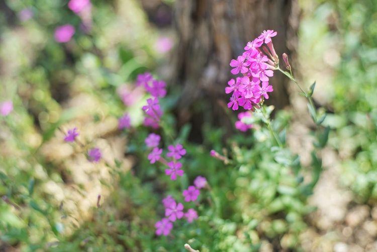 동내 골목 여기저기 아기자기 피어있는 .. . . #하루한컷 #끈끈이대나물 #A7 #신쩜팔 #EF50MMF18MMSTM Flower Head Flower Multi Colored Springtime Pink Color Summer Purple Blossom Closing Botanical Garden