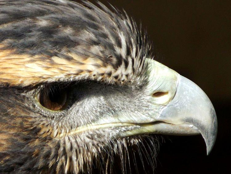 Bird Walking Around Birdphotography Birds🐦⛅ Seahawk Bird Of Prey Birds Of EyeEm