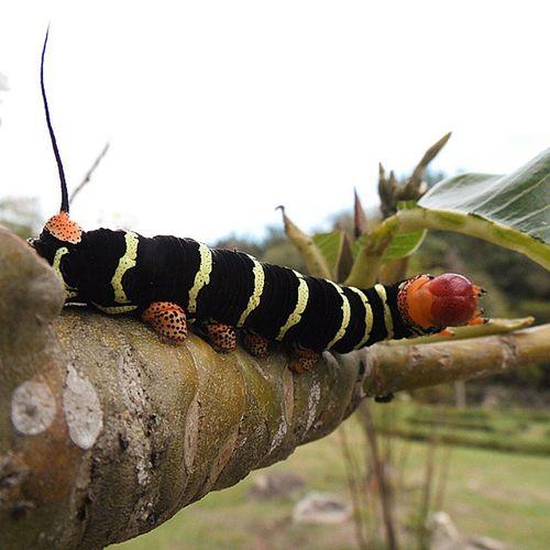 Rcnocrop Betosalvestrini Bugs Mérida Venezuela Macro Nature Jardinbotanico Ula Quickphoto Samsung Wb2100 Abugslife