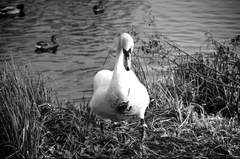 Swan at Cusworth Hall, Doncaster Swan Swans Birds Cusworth Hall Doncaster Blackandwhite