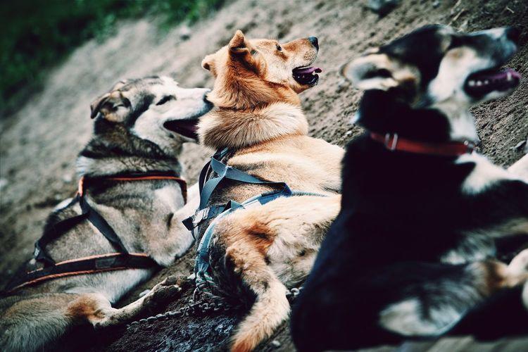 Eskimo Dog Dog Alaska