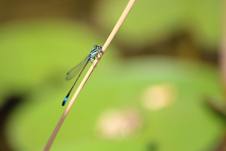 Close-Up Of Damselfly On Reed
