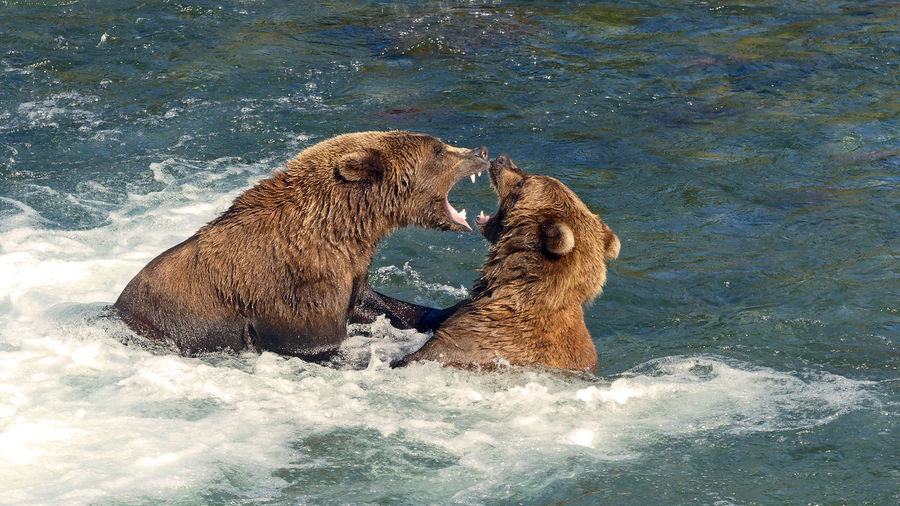 2 Grizzlies fighting Brooks Falls Bears Brooks Falls Katmai National Park Aggression  Animal Animal Themes Animal Wildlife Animals In The Wild Brown Brown Bear Conflict Day Fighting Foaming Water Grizzly Bear Group Of Animals Mammal Mouth Open Nature Outdoor River Two Animals Vertebrate Water Waterfront