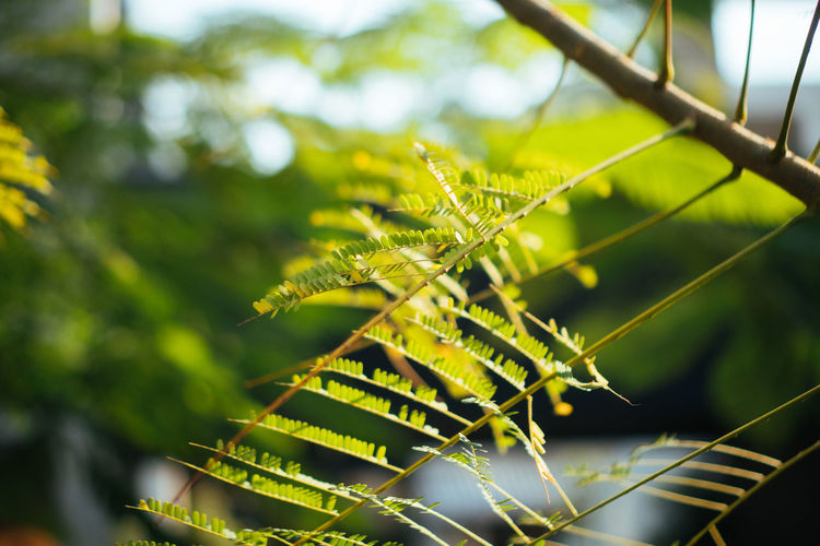 Plant Growth Leaf Plant Part Green Color Nature Focus On Foreground Beauty In Nature Close-up No People Day Tree Selective Focus Outdoors Sunlight Tranquility Fragility Vulnerability  Fern Freshness Leaves