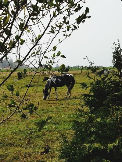 Animal Themes Domestic Animals Horse Mammal One Animal Outdoors Grass Beauty In Nature Beautiful Horses Beautiful Horse Black And White Horses