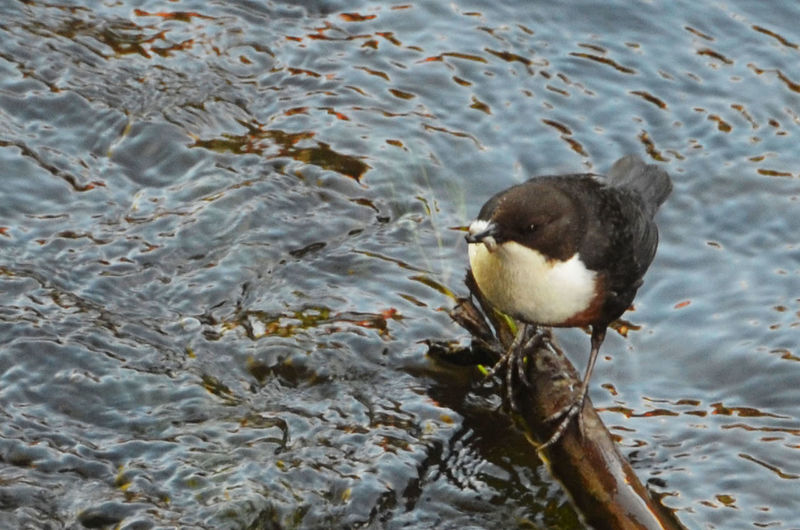 Animal Wildlife Animals In The Wild Bird No People Perching White-throated Dipper