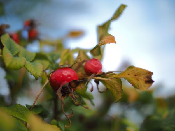 Another rose hip... Rose Hip Rose Hips Beauty In Nature Natural Beauty Narrow Depth Of Field Nature On Your Doorstep Beauty In Nature Shallow Depth Of Field Selective Focus Autumn🍁🍁🍁 Autumn Autumn Colors Authentic Moments