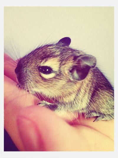 My Little Baby Degu <3